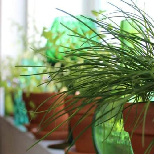 Grow Sustainable Herbs Indoors so that you can enjoy a healthy hobby.