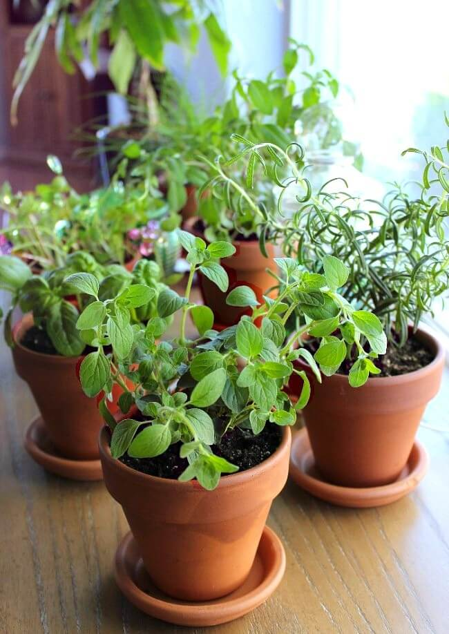 Grow Sustainable Herbs Indoors so that you can enjoy a healthy hobby, save money at the grocery store and have herbs at your fingertips any time you are in need.